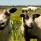 Ten Sheep