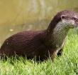 Oversteekplaats voor otter moet even wachten