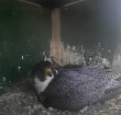 Vier eieren voor Alphense slechtvalk op zendmast