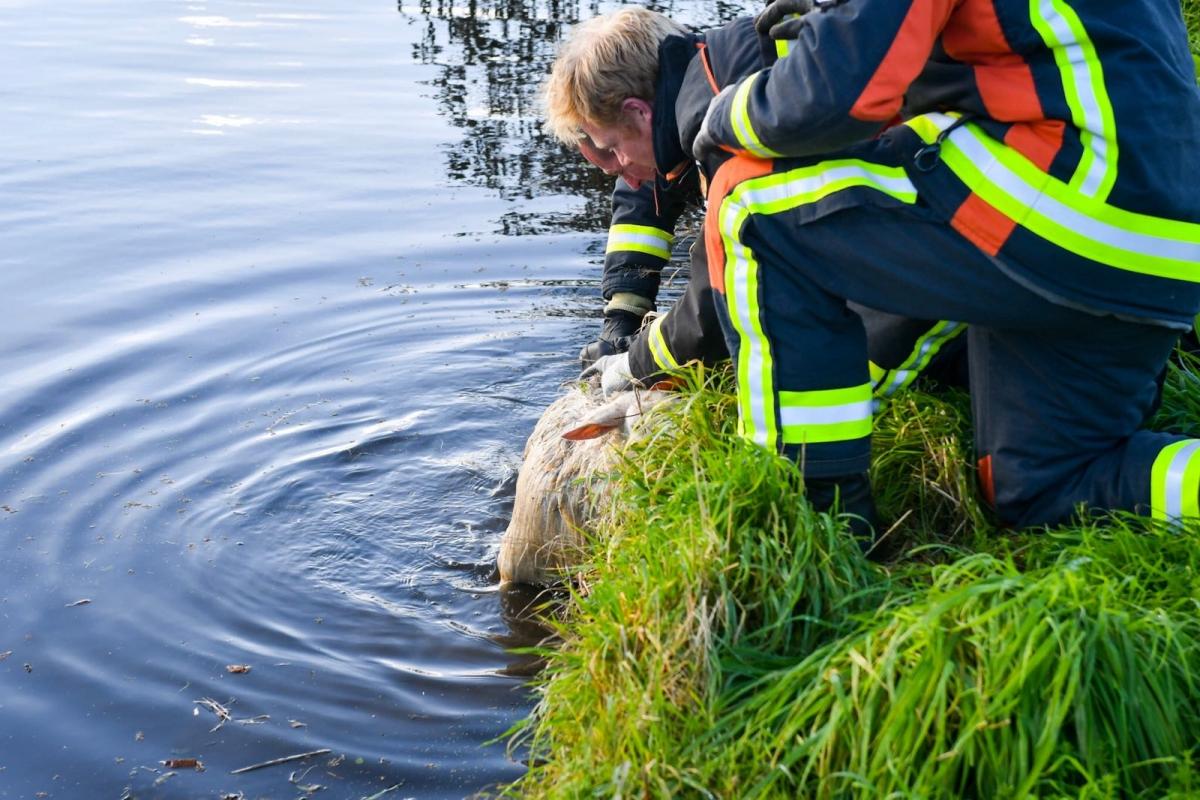 Brandweermannen krijgen schaap weer op het droge
