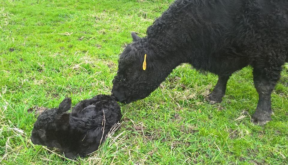 Eerste Galloway-kalfje geboren in Park Zegersloot