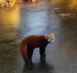 Ook ijspret voor rode panda in vogelpark Avifauna